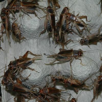 Steppengrillen lose ca. 250 Stück - groß
