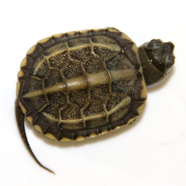 Mauremys reevesii - Chinesische Dreikielschildkröte, klein