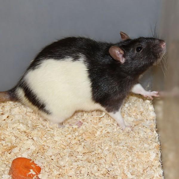 Ratte groß
