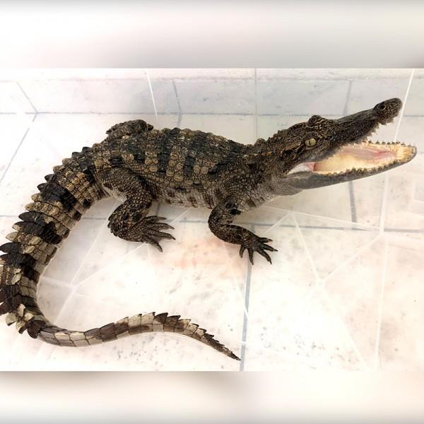 Crocodylus siamensis - Siam Krokodil