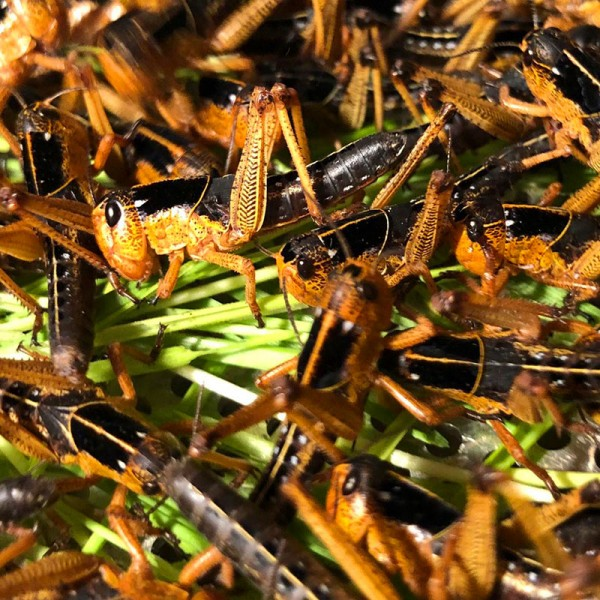 Wanderheuschrecken lose 50 Stück - mittel