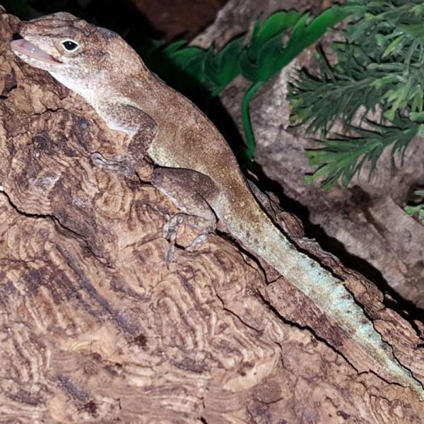 Anolis cristatellus - Kammanolis