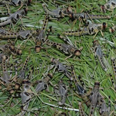 Wüstenheuschrecken - Dose - mittel