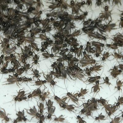 Steppengrillen lose ca.1000 Stück - klein