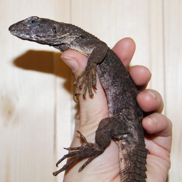 Ctenosaura quinqecarinata - Dornschwanzleguan