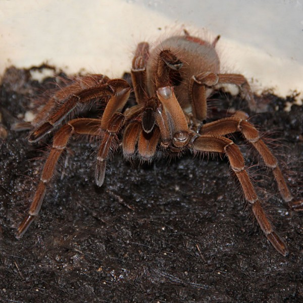 Theraphosa stirmi - Goliath-Vogelspinne L
