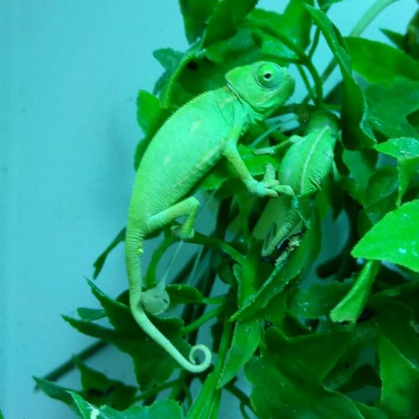 Chamaeleon calyptratus - Jemenchamäleon, Baby