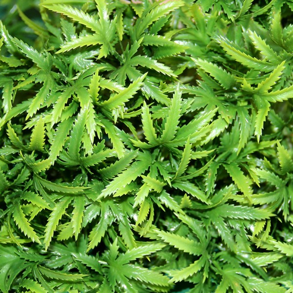 Terrarium Plants - The Wind Claw Leaves Vine - Large