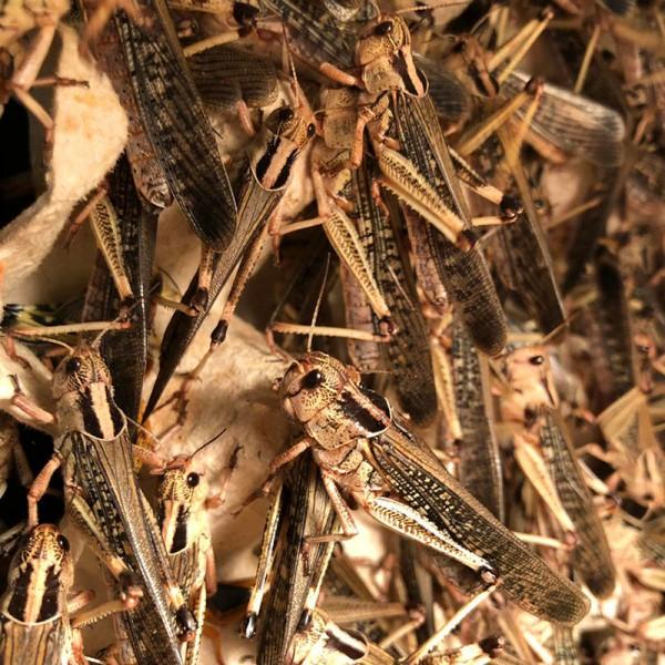 Wanderheuschrecken lose 100 Stück - groß