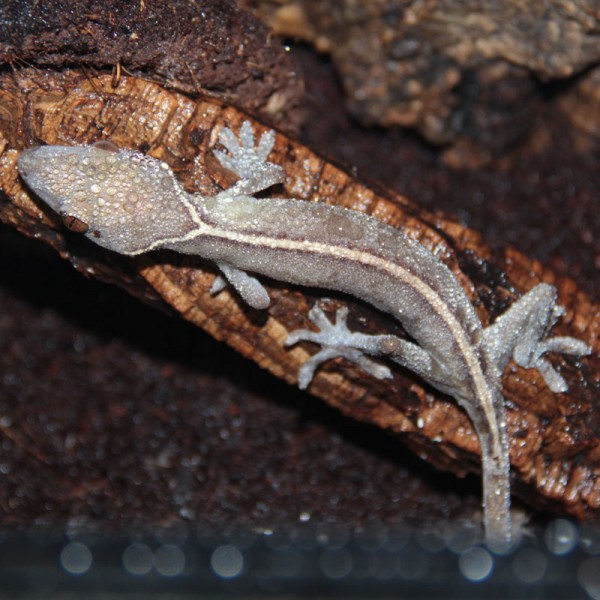 Gecko vittatus - Streifengecko