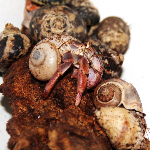 Coenobita clypeatus - Landeinsiedlerkrebs, M-L