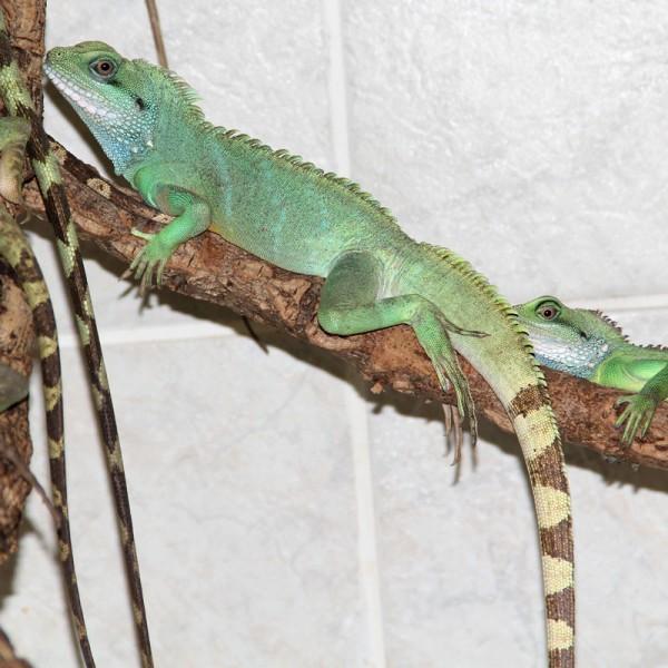 Physignathus cocincinus - Grüne Wasseragame, adult
