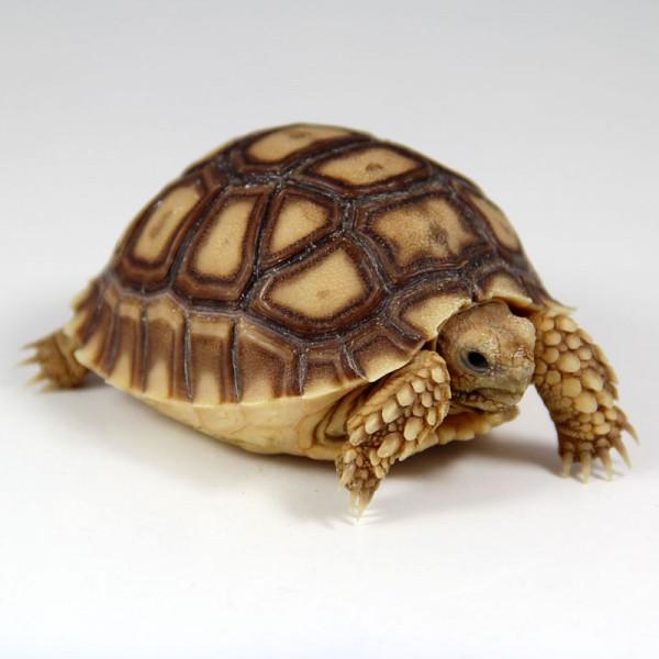 Geochelone sulcata - Spornschildkröte DNZ