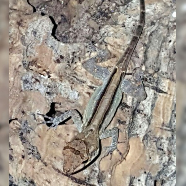 Anolis cristatellus - Kammanolis DNZ