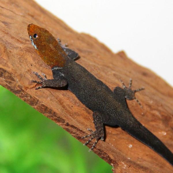 Gonatodes albogularis fuscus - Blauer Rotkopfgecko
