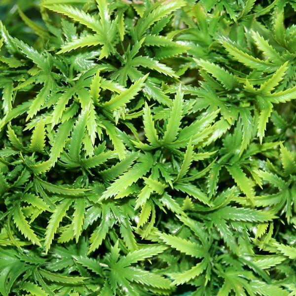 Terrarium Plants - The Wind Claw Leaves Vine - Medium