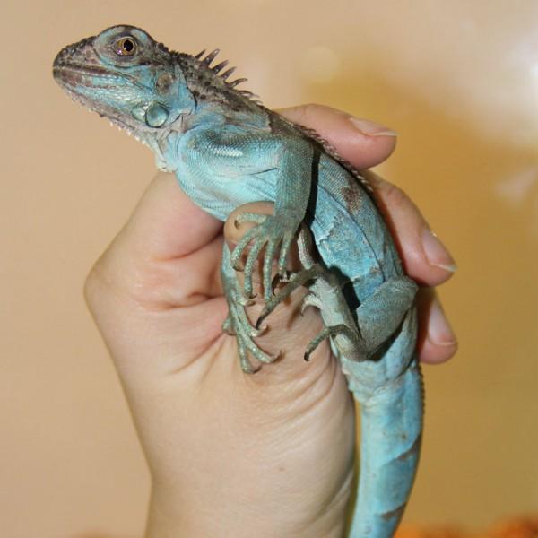 Iguana Iguana - Blauer Leguan