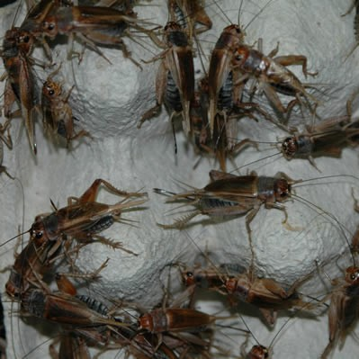 Steppengrillen lose ca. 500 Stück - groß