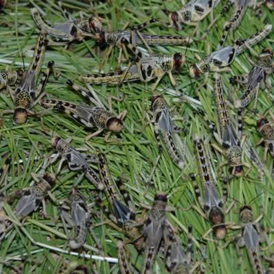 Wüstenheuschrecken lose 50 Stück - mittel