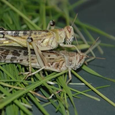 Wüstenheuschrecken lose 100 Stück - groß