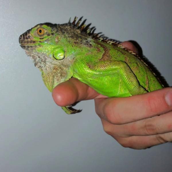 Iguana Iguana - Grüner Leguan
