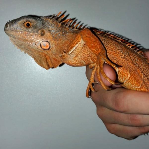 Iguana Iguana - Roter Leguan