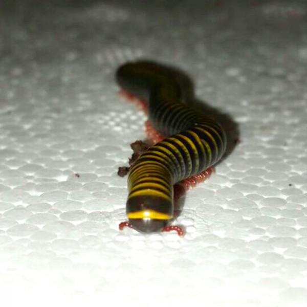 Anadenobolus monilicornis - Bunter Tausendfüßer