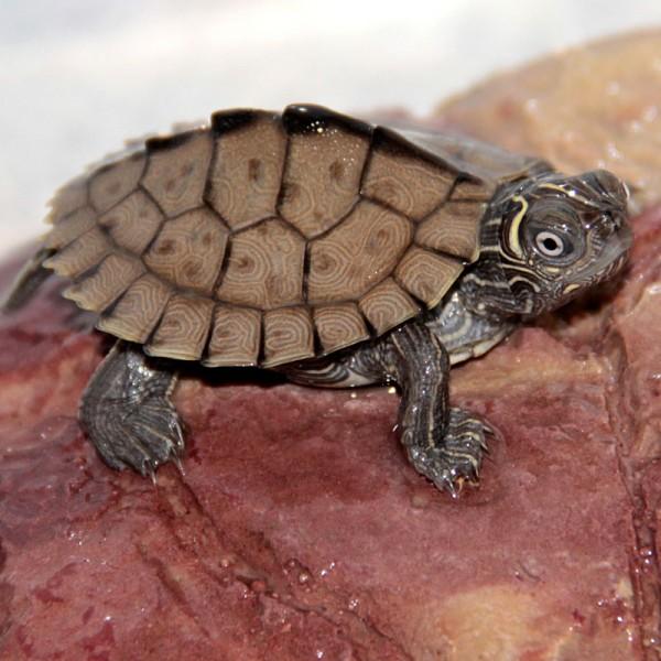 Graptemys kohnii - Höckerschildkröte, mittel-sub