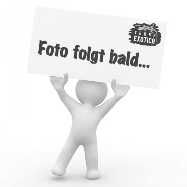 Frost - Babyratte - 100 Stück