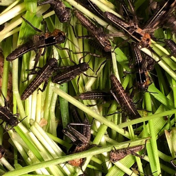 Wanderheuschrecken - Dose - klein